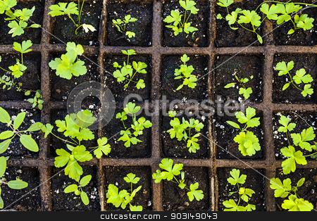 Seedlings growing in starter tray stock photo, Seedlings of herbs and vegetables growing in grid starter tray by Elena Elisseeva
