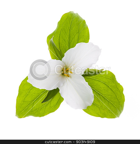White Trillium flower isolated stock photo, Trillium Ontario provincial flower with leaves isolated on white background by Elena Elisseeva