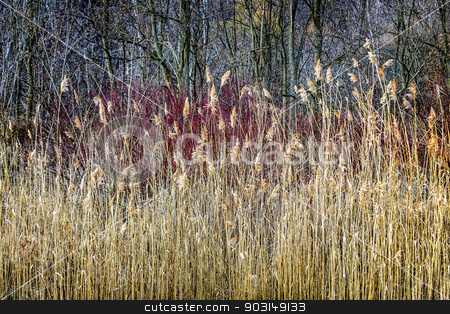 Winter reeds and forest stock photo, Winter reeds and forest at Scarborough Bluffs in Toronto, Canada. by Elena Elisseeva