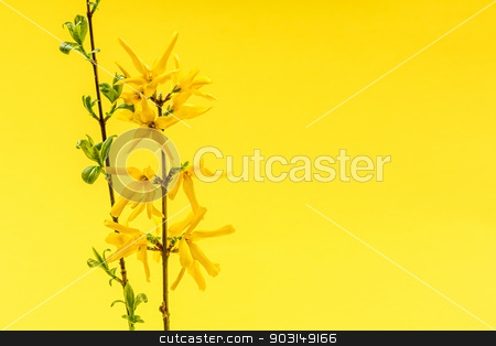 Spring yellow background with forsythia flowers stock photo, Spring yellow background with fresh forsythia flowers and branches by Elena Elisseeva