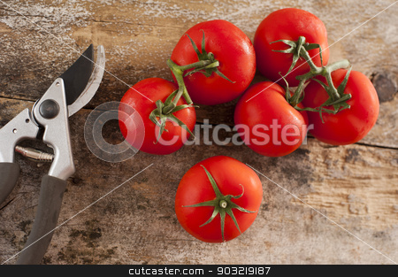 Freshly picked tomatoes off the vine stock photo, Freshly picked ripe red tomatoes off the vine lying on an old rustic wooden garden table with a pair of pruning shears or secateurs, overhead view by Stephen Gibson