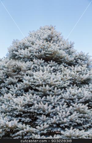 Blue Fir Under Blue Sky stock photo, A large fir tree under clear blue skies by Darryl Brooks