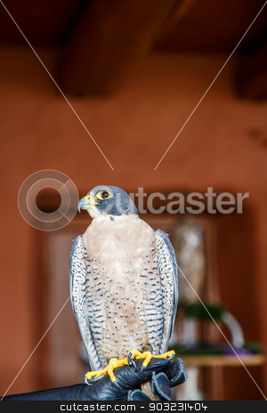 Falcon Perched on Gloved Hand stock photo, Falcon Perched on the gloved hand of a falconer by Darryl Brooks