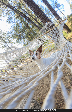 Relaxed jack Russell Terrier Relaxing in a Hammock stock photo, Relaxed jack Russell Terrier Relaxing in a Hammock Among the Pine Trees. by Andy Dean