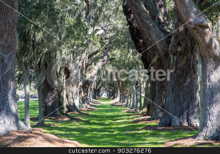 Massive Oaks Around Grassy Lane stock photo, Green Grassy Lane Between a Row of Massive Old Oak Trees by Darryl Brooks