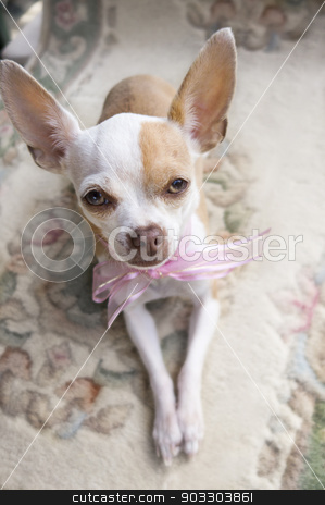 Chihuahua Ribbon stock photo,  A cute little Chihuahua wearing a pink ribbon around its neck is looking up at the camera by Maria Bell