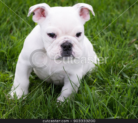 english bulldog stock photo, english bulldog sitting in the grass - 8 weeks old by John McAllister