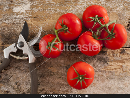 Freshly picked home grown tomatoes stock photo, Freshly picked ripe red home grown tomatoes still on the vine lying on a rustic wooden table alongside a pair of secateurs or pruning shears by Stephen Gibson
