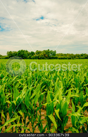 Fresh green corn crops on a field