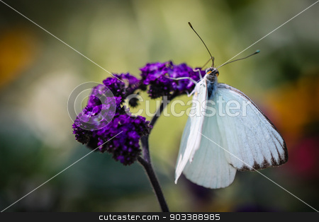 Great Southern White Ascia Monuste stock photo, A colorful Great Southern White Ascia Monuste butterfly. by Henrik Lehnerer
