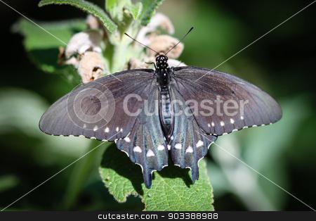Spicebush Swallowtail Papilio Troilus stock photo, A colorful Spicebush Swallowtail Papilio Troilus butterfly. by Henrik Lehnerer