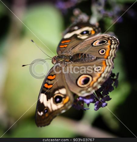 Common Buckeye Junonia Coenia stock photo, A colorful Common Buckeye Junonia Coenia butterfly. by Henrik Lehnerer