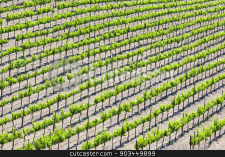 Beautiful Wine Grape Vineyard stock photo, Beautiful Wine Grape Vineyard in the Afternoon Sun. by Andy Dean