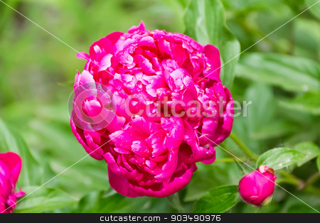 Pink peony on green background