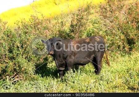 Bull stock photo, Dark brown bull standing in a yellow green mustard field. by Henrik Lehnerer