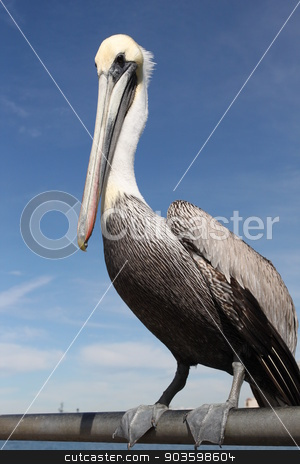 Pelican stock photo, Grey pacific pelican with blue sky in the background. by Henrik Lehnerer