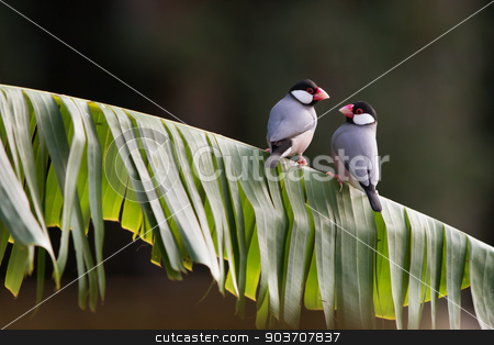 Java Finches stock photo, Two Tropical Java Finches on a Leaf Perch by Scott Griessel