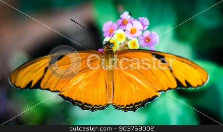 Julia Heliconian Dryas Julia stock photo, A colorful Julia Heliconian Dryas Julia butterfly. by Henrik Lehnerer