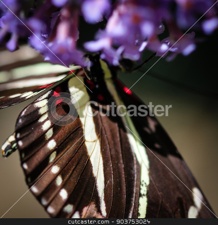 Zebra Heliconian Heliconius Charithonia stock photo, A colorful Zebra Heliconian Heliconius Charithonia butterfly. by Henrik Lehnerer