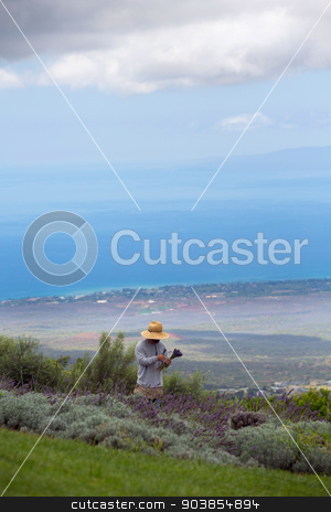 Harvesting Lavender in Maui stock photo, Farmer collecting lavender cuttings in Maui, Hawaii by Scott Griessel