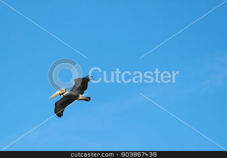Flying Pelican stock photo, Beautiful flying pelican with wings spreadout in front of blue sky. by Henrik Lehnerer