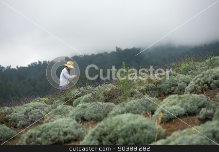 Harvesting Lavender on Hillside stock photo, Hawaiian farmer gathering cuttings from lavender plants on hillside by Scott Griessel