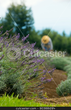 Gardener Harvesting Lavender stock photo, Gardener harvesting lavender on Maui hillside in Hawaii by Scott Griessel