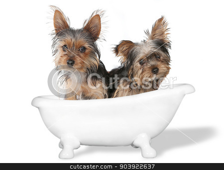 Teacup Yorkshire Terriers on White Bathing stock photo, Tiny Teacup Yorkshire Terriers on White Bathing by Katrina Brown