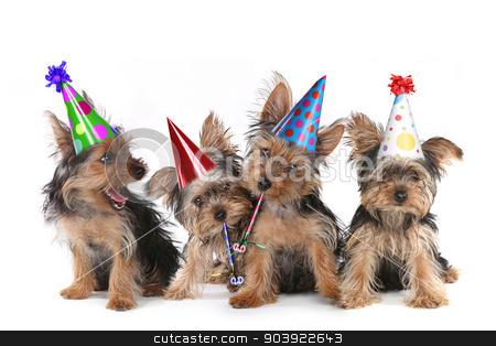 Birthday Theme Yorkshire Terrier Puppies on White  stock photo, Happy Birthday Theme Yorkshire Terrier Puppies on White Singing by Katrina Brown
