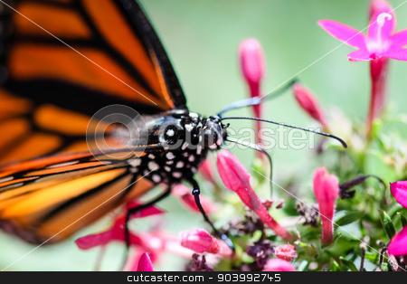 Monarch Danaus Plexippus stock photo, A colorful Monarch Danaus Plexippus butterfly. by Henrik Lehnerer