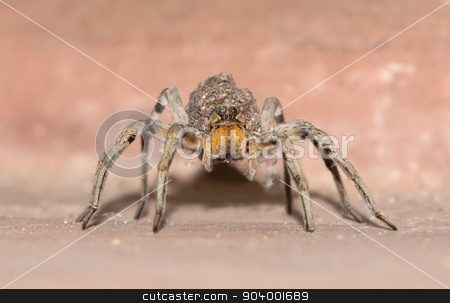 Spider Carying Offspring on Back stock photo, Front view of female wolf spider carrying offspring on back by Scott Griessel