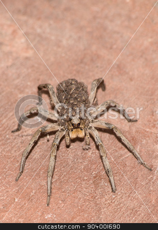 Wolf Spider Carrying Her Young stock photo, Female wolf spider with baby spiders on back close up by Scott Griessel
