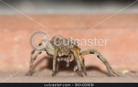 Wolf Spider Carrying Babies stock photo, Close up of female wolf spider with babies on back by Scott Griessel