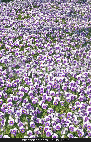 Pansies stock photo, A lot of white and purples pansies by Lucy Clark
