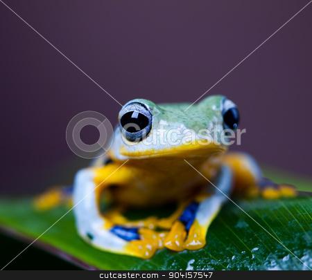 Flying Frog, Rhacophorus reinwardtii on colorful background stock photo, Flying Frog, Rhacophorus reinwardtii on colorful background by Sebastian Duda