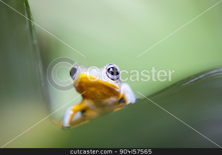 Exotic frog in indonesia, Rhacophorus reinwardtii on colorful ba stock photo, Exotic frog in indonesia, Rhacophorus reinwardtii on colorful background by Sebastian Duda