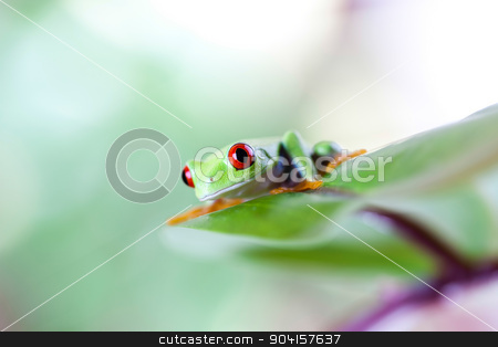 Red eye tree frog on leaf on colorful background stock photo, Red eye tree frog on leaf on colorful background by Sebastian Duda