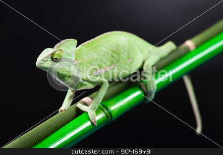 Colorful Chameleon, bright vivid exotic climate stock photo, Colorful Chameleon, bright vivid exotic climate by Sebastian Duda