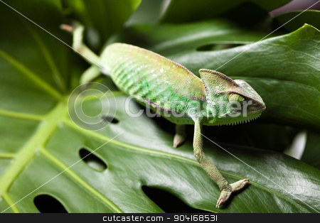 Flower on chameleon, bright vivid exotic climate stock photo, Flower on chameleon, bright vivid exotic climate by Sebastian Duda