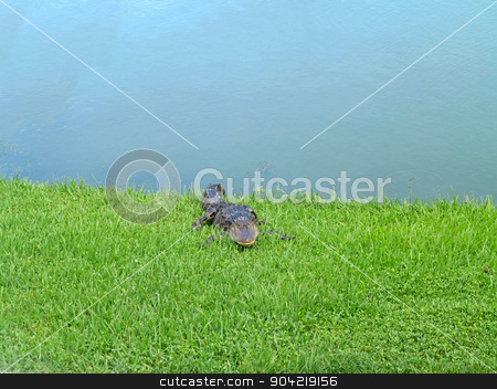 Alligator stock photo, An alligator relaxing on the grass next to a pond by Lucy Clark