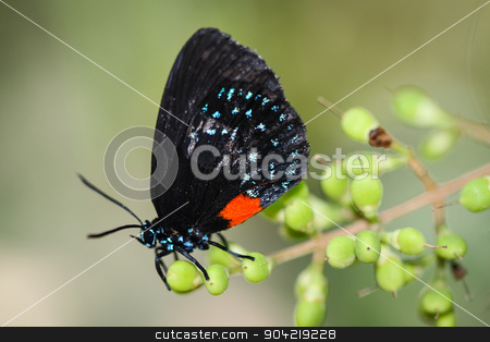 Eumaeus Atala stock photo, A colorful Eumaeus Atala butterfly sitting on a red Lily. by Henrik Lehnerer