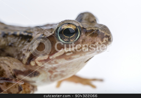 Detail of frog head stock photo, Detail of European frog head. by neryx