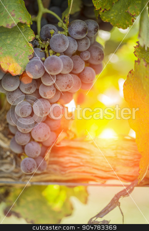 Lush Red Grape Vineyard in The Afternoon Sun stock photo, Vineyard with Lush, Ripe Wine Grapes on the Vine Ready for Harvest. by Andy Dean