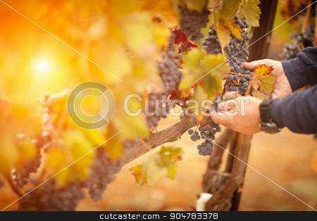 Farmer Inspecting His Ripe Wine Grapes stock photo, Farmer Inspecting His Wine Grapes In The Afternoon Sun. by Andy Dean