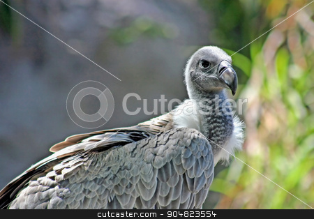 White-backed Vulture stock photo, A white-backed vulture, Gyps africanus, showing head and body by Lucy Clark