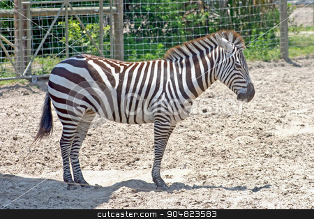 Zebra stock photo, A zebra standing in the dirt with fence behind by Lucy Clark