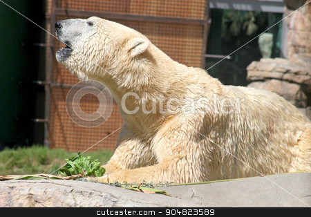 Polar Bear stock photo, A Polar Bear laying down and resting by Lucy Clark