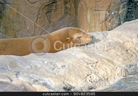 Sealion stock photo, A sealion which is asleep on a rock by Lucy Clark