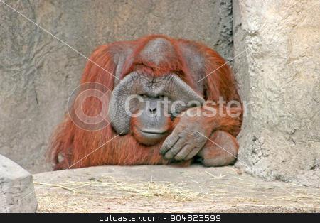 Orangutan stock photo, A large orangutan sitting on the rocks by Lucy Clark