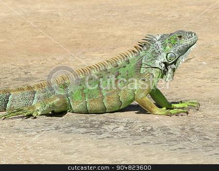 Iguana stock photo, A green iguana on the concrete ground by Lucy Clark